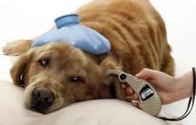 Perros Termometro